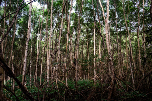 Tall trees in jungle of St. Thomas US Virgin Islands